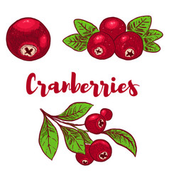 Set of hand drawn colorful cranberries design vector