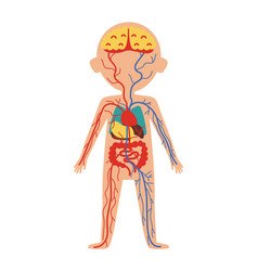 Boy body anatomy with internal organs vector