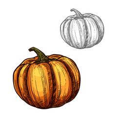 Pumpkin sketch vegetable icon vector