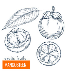 mangosteen hand drawn vector image