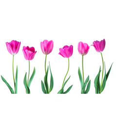 Tulips color tulips isolated on white vector