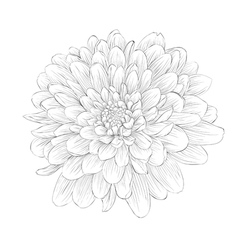 black and white dahlia flower isolated on white vector image