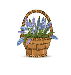 flowers blue muscars in a flower basket on a white vector image