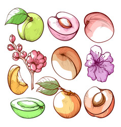apricot fruits leaves and flowers hand drawn vector image
