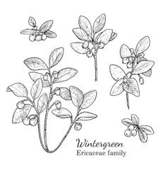 Ink wintergreen hand drawn sketch vector image