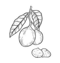 macadamia nut oil vector image