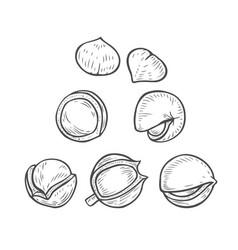 set of macadamia vector image