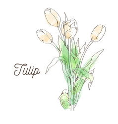 beautiful tulip on white background vector image