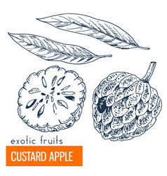 custard apple hand drawn vector image