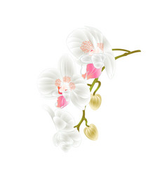 beautiful orchid phalaenopsis stem vector image