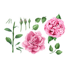 Set pink roses in watercolor style isolated on vector