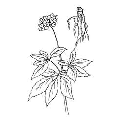 doodle ginseng dyed black vector image