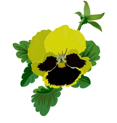 Yellow pansy flower with leaves and bud vector image vector image
