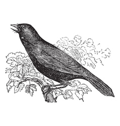 Giant Cowbird vintage engraving vector image