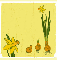 Narcissus flower background vector