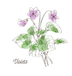 Beautiful violets for bouquet on white background vector