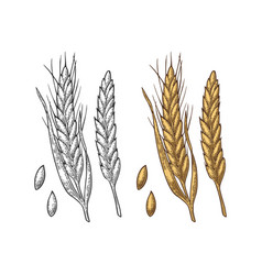 Ear of wheat barley and grain malt vector