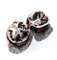 Watercolor sketch of pomegranate vector image vector image
