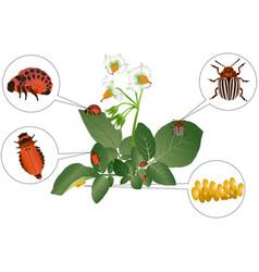 colorado beetle vector image