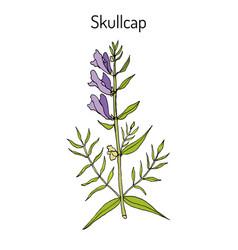 Baikal skullcap scutellaria baicalensis vector