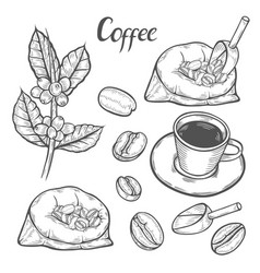coffee plant branch vector image