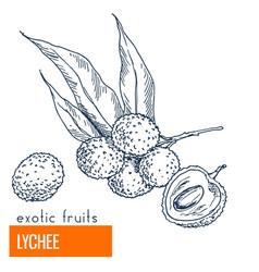 lychee hand drawn vector image vector image