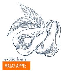 malay apple hand drawn vector image vector image