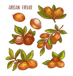 Argan fruits plant branches sketch icons vector