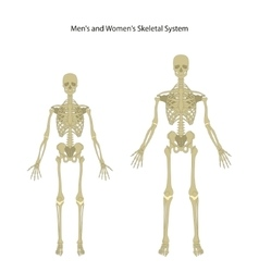 Male and female skeleton Front view vector