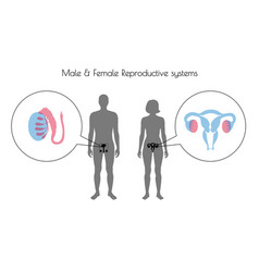 reproductive system vector image