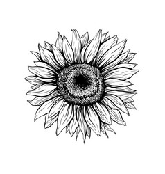 Sunflower hand drawn ink pen vector