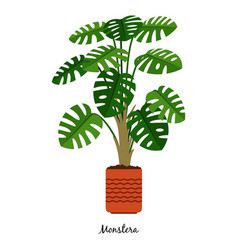 monstera plant in pot vector image vector image