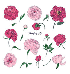 beautiful peonies set hand drawn blossom flowers vector image