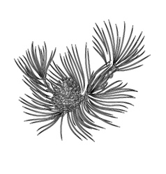 Pine branch and pine cones as vintage engraving vector