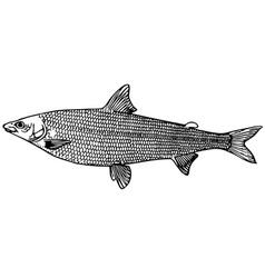 fish coregonus salmon vector image vector image