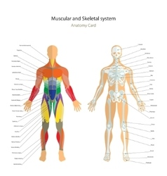 Anatomy guide Male skeleton and muscles map with vector