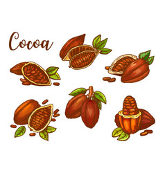 cocoa beans sketch chocolate cacao pods vector image