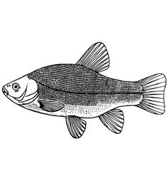fish tench doctor fish vector image