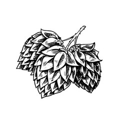 Hop plant with leaves in vintage style engraved vector