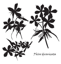 Set of flowers phlox divaricata with leafs Black vector image vector image
