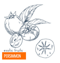 persimmon hand drawn vector image