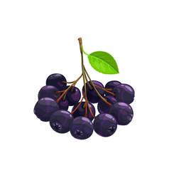 Black chokeberry berries fruits food dessert vector