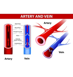 artery and vein vector image vector image