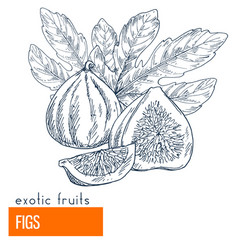 figs hand drawn vector image vector image