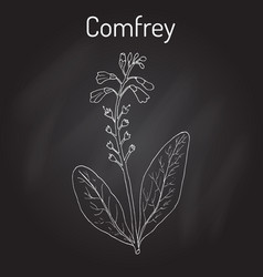 Comfrey symphytum officinale or boneset vector
