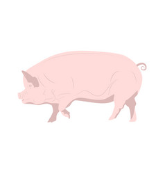 Domestic pink pig on white background vector