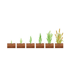 Stages wheat seed growth vector