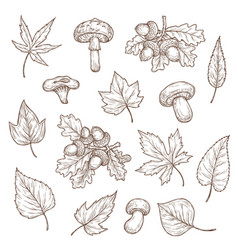autumn leaves mushrooms and acorns sketch vector image