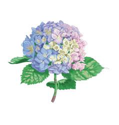 Beautiful gentle hydrangea flower isolate vector