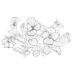 viola flowers drawing on white background vector image